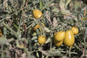Agricola Paglione, dove il pomodoro è una questione di famiglia